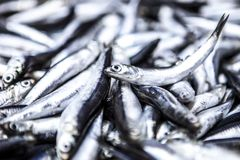 Fresh fished Anchioves at the fish market Stock Photography