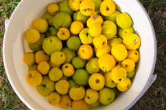 Lot of fresh quinces. Quinces in the white container Stock Image
