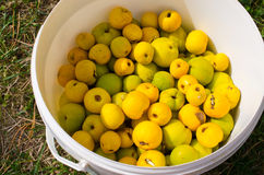 Lot of fresh quinces. Quinces in the white container Stock Photo