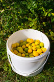 Lot of fresh quinces. Quinces in the white container Stock Photos