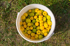 Lot of fresh quinces. Quinces in the white container Stock Images