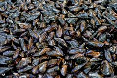 Lot of Fresh Raw Mussel Meat on the Market, , like a background. Lot of Fresh Raw Mussel Meat on the Market, , like a background, texture Stock Photo