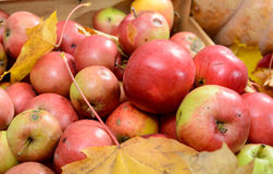 Lot of fresh red apples with autumn leaves Stock Images