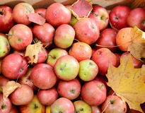 Lot of fresh red apples with autumn leaves Royalty Free Stock Photo