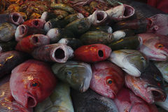 A lot of fresh sea fishes with their mouths open for sale, a large amount of fresh sea mining: gray fish, red fish. A lot of fresh sea fishes with their mouths Stock Image