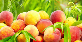 A lot of fresh tasty peaches in summer garden Stock Photo