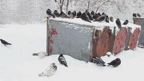 Lot of frozen pigeons sitting on a snowy trash box. Many pigeons sitting on a snowy trash box on them fall white fluffy snow.Dove grey in winter. Pigeons in stock footage