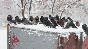 Lot of frozen pigeons sitting on a snowy trash box. Many pigeons sitting on a snowy trash box on them fall white fluffy snow.Dove grey in winter. Pigeons in stock video