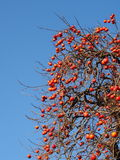 A lot of fruit ripe persimmon tree Royalty Free Stock Photos