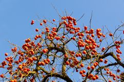 A lot of fruit ripe persimmon tree Royalty Free Stock Photography