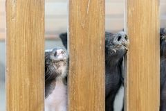 Lot of funny pig noses peeking through wooden fence at farm. Piglets sticking snouts . Intuition or instinct feeling concept.  royalty free stock photo