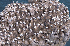 A lot of gannets on the cliff Royalty Free Stock Images