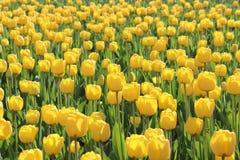 Lot gelbe Tulpen Stockbild
