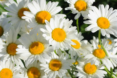 A lot of chamomile closeup stock image