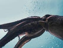 Lot gigantyczna ośmiornica Fotografia Royalty Free