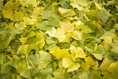 A lot of ginkgo leaves. On the ground Stock Images