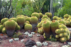 A lot of Golden Barrel Cactuses royalty free stock photos
