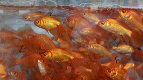 A Lot of Goldfishes Swimming on Water. In the Aquarium tank stock footage
