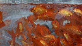A Lot of Goldfishes Swimming on Water. In the Aquarium stock video footage