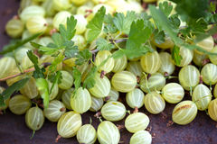 A lot of gooseberry. On the table Stock Image