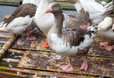 A lot gooses in local farm. Stock Image