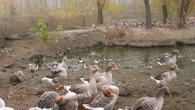 Lot of gooses on pond shore. Lot of gooses on a pond shore stock video footage