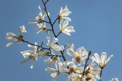 Lot of gorgeous white magnolia flowers in a blue sky. Like a flock of white butterflies! stock images