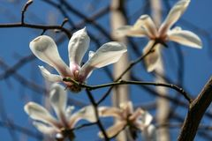 Lot of gorgeous white magnolia flowers in a blue sky in sunny spring day. Nature concept for design. Selective focus stock images