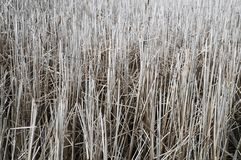 A lot of gray cane in the lake. Similar to the autumn forest, the reeds are quite dry and lost the tops stock images