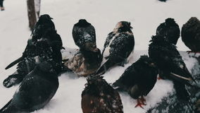 Lot of gray frozen pigeons sitting on a snowy trash box. Many pigeons sitting on a snowy trash box on them fall white fluffy snow.Dove grey in winter. Pigeons in stock footage