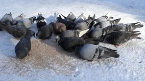 A lot of gray pigeons eat cereal outside in the winter. Action in real time in the forest stock video