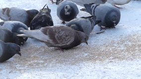 A lot of gray pigeons eat cereal outside in the winter. Action in real time in the forest stock video footage