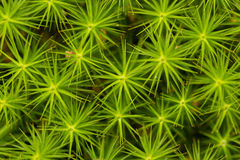 A lot of green asterisks . Plant. Textures. Lot of stalks with elongated spiky leaves. Top view. Macro Royalty Free Stock Image