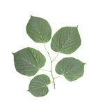 A lot of green leaves of different sizes, isolated on a white background. Green and fresh leaves on a tree branch. Stock Photos