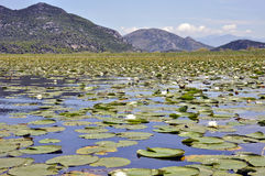 A lot of green lily leaves and nenuphars on Skadar Lake Royalty Free Stock Photos