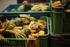Farmer`s pumpkins for the autumn festival. A lot of green little pumpkins lie in green plastic boxes prepared for sale at a farmers fair Stock Photography