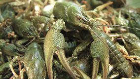 A lot of green live crayfish. Close-up stock video footage