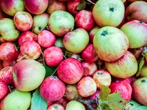 A lot of green red organic fresh sweet apples stock photos