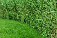 A lot of green reeds Stock Images