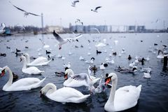 A lot of group birds floating on the black sea, Odessa. royalty free stock photography