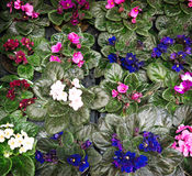 A lot of growing violets with green leaves, background, pink red Stock Photos