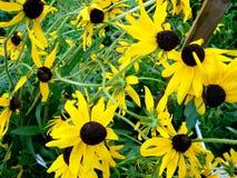 Lot of growing yellow Echinacea flower sun stock photography