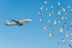 A lot of gulls and a plane taking off against the blue sky. The concept. A lot of gulls and a plane taking off against the blue sky. concept Royalty Free Stock Photo