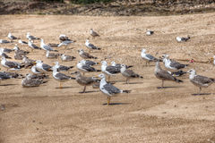 Lot of gulls on the shore. Atlantic Beach, Portugal. Royalty Free Stock Photography