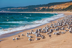 Lot of gulls on the shore. Atlantic Beach, Portugal. Stock Photography