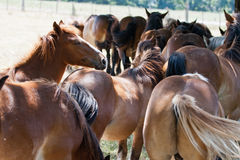 A lot of horses Stock Photography