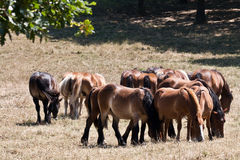 A lot of horses Stock Image