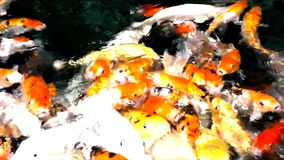 Lot of hungry orange fish koi in pond at sunny summer day. This is hand-feed fishes stock video