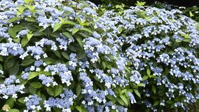 A lot of hydrangea flowers Royalty Free Stock Images