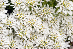 A lot of Iberis sempervirens Snowflake flowers Stock Image